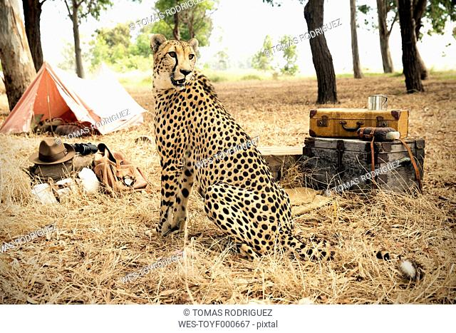 South Africa, cheetah on meadow with suitcases and tent