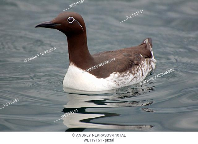 Common Murres or Common Guillemots Uria aalge, Pontoppidan, Barents Sea, Russia, Arctic