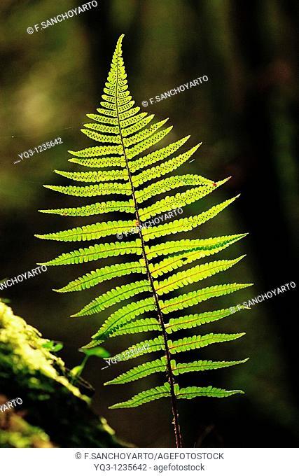 Backlit fern. La Cubilla, Castro Urdiales, Cantabria, Spain