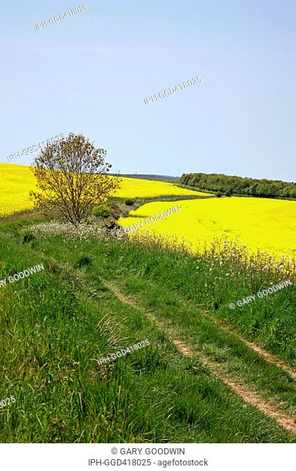 Colourful rapeseed fields in full bloom on the outskirts of Dorchester, the county town of Dorset