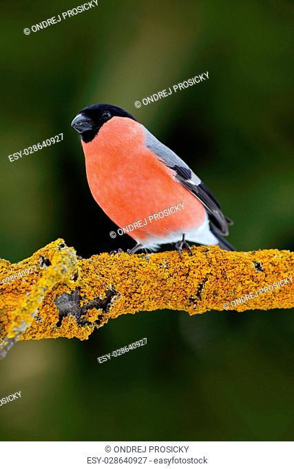 Red songbird Bullfinch sitting on yellow lichen branch, Sumava