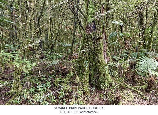 The rainforest at Lake Matheson. New Zealand