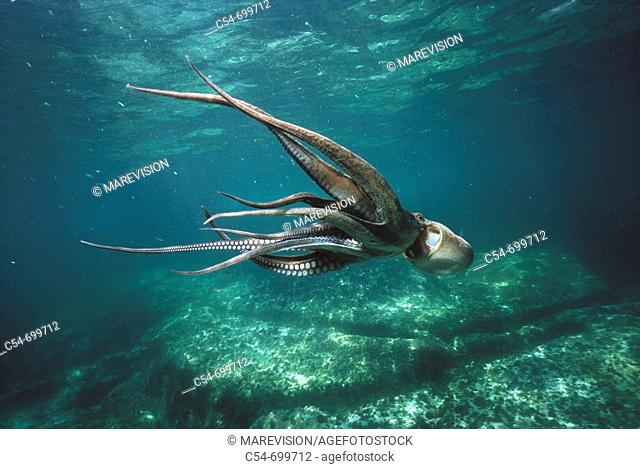 Eastern Atlantic. Galicia. Spain. Octopus swimming (Octopus vulgaris)