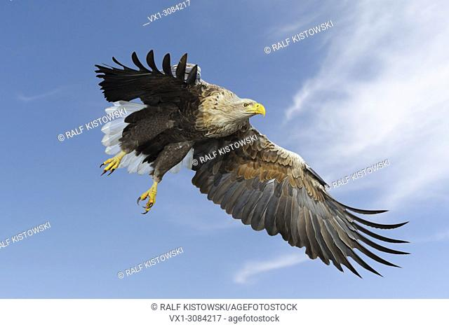 White-tailed Eagle / Sea Eagle ( Haliaeetus albicilla ) impressive adult, in flight against blue sky, hunting, just before grabbing for prey, wildlife, Europe