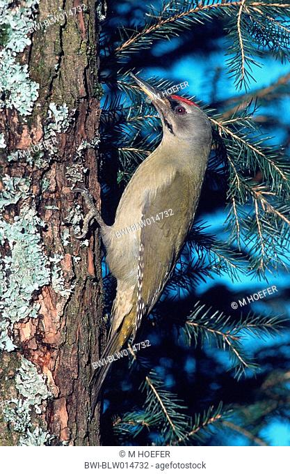 grey-faced woodpecker Picus canus, male, Dez 97