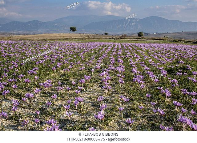 Saffron Crocus (Crocus sativus) crop, flowering in field during harvest season, near Kozani, Macedonia, Greece, October