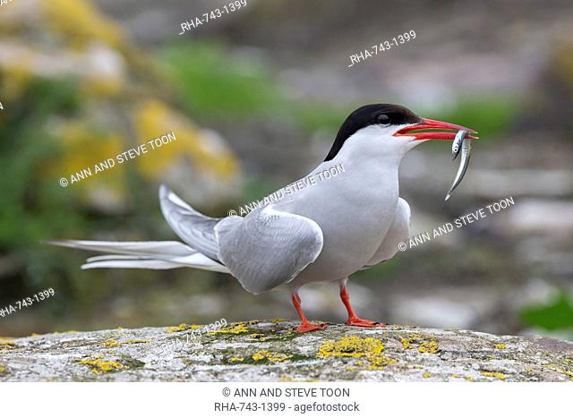 Arctic tern (Sterna paradisaea) with sand eel, Inner Farne, Farne Islands, Northumberland, England, United Kingdom, Europe