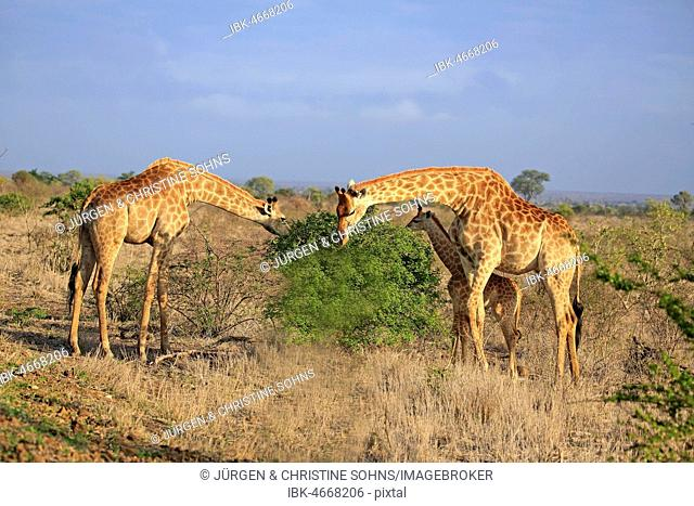 Southern giraffes (Giraffa camelopardalis giraffa), adult group with young animal feeding, Kruger National Park, South Africa