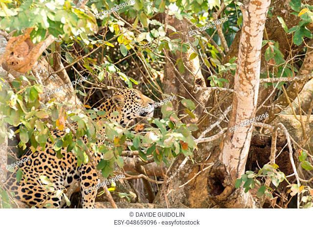 Jaguar on riverbank from Pantanal, Brazil. Wild brazilian feline. Nature and wildlife