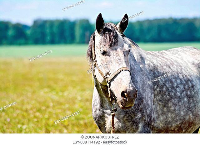 Horse gray in meadow