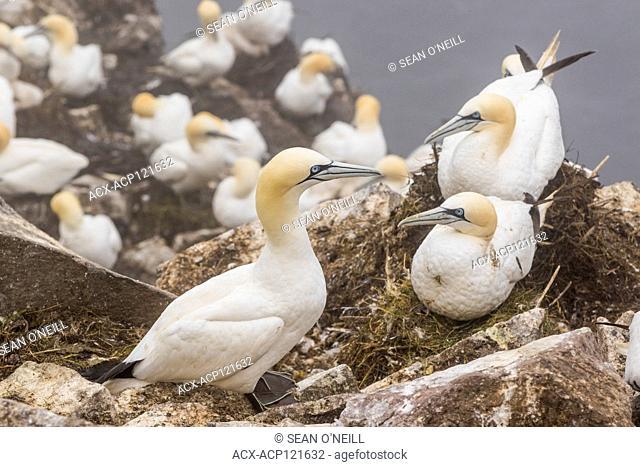 Northern Gannet, Morus bassanus, close-up shot, Cape St. Mary's ecological reserve, Newfoundland, Canada