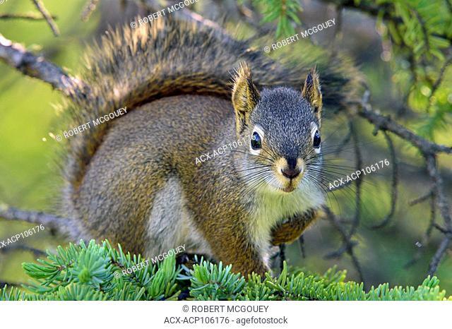 A wild Red Squirrel, Tamiasciurus hudsonicus, sitting on a fir tree branch making eye contact in rural Alberta, Canada
