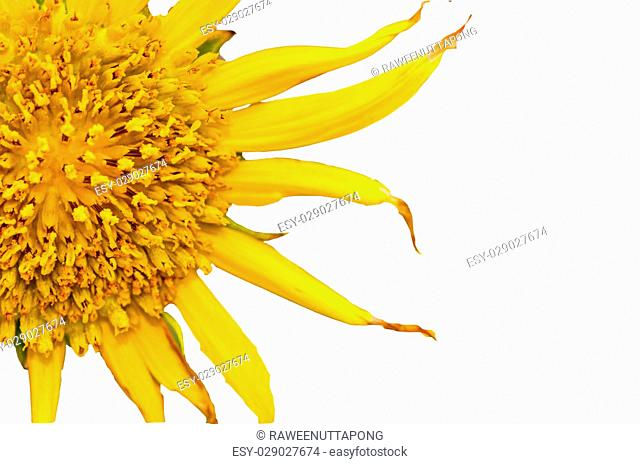 sunflowers close up on white background