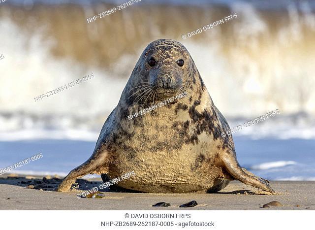 Atlantic Grey Seal - Halichoerus grypus