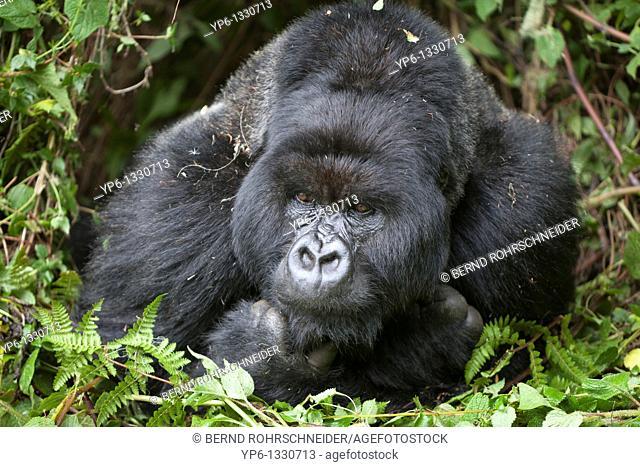 Mountain Gorilla, Gorilla beringei beringei, portrait of a silverback lying in vegetation, Volcanoes National Park, Rwanda