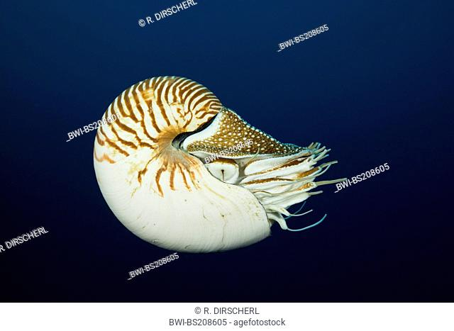 chambered nautilus, emperor nautilus (Nautilus pompilius), single individual in open water, Australia, Great Barrier Reef