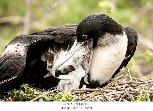Close up of frigate bird feeding chick in nest