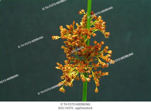 Soft rush - medicinal plant - herb - HeilkrŠuter - Juncus effusus - Giunco comune