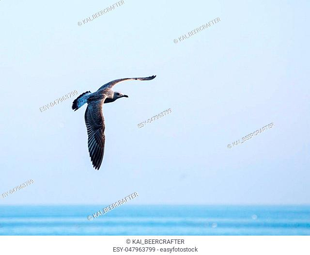 beautiful speckled seagull flying in the sky during the day over the sea