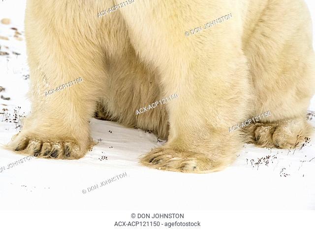Polar Bear (Ursus maritimus) Legs and paws