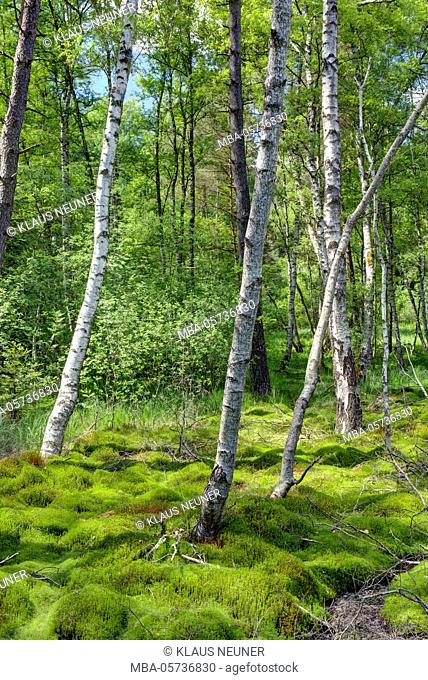 Birches and moss in the Schwenninger Moos, Schwenningen, Baden-Württemberg, Germany, Europe