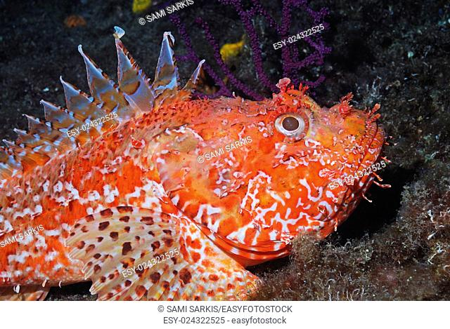 Pustulous Scorpion Fish (Scorpaena notata) on rock, underwater view, Mediterranean Sea, Marseille, France