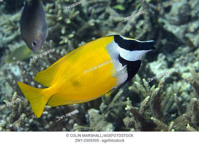 Foxface Rabbitfish (Siganus vulpinus), Sawanderek Jetty dive site, Mansuar Island, Dampier Straits, Raja Ampat, Indonesia