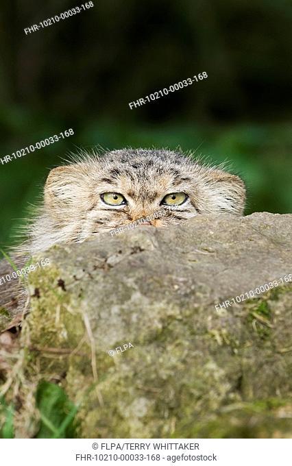 Pallas's Cat Felis manul adult, winter coat, peering over rock, captive