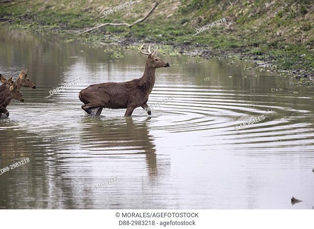 / India, State of Assam, Kaziranga National Park, Swamp deer (Cervus duvaucelii ranjitsinghii ou Rucervus duvaucelii ranjitsinghii)