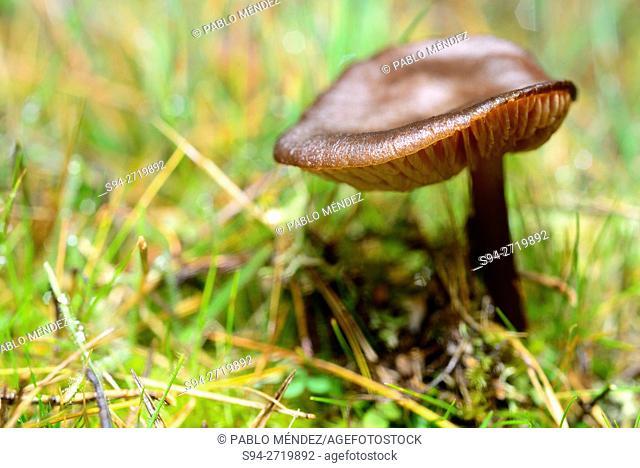 Mushroom in a field of Valdemanco, Madrid, Spain