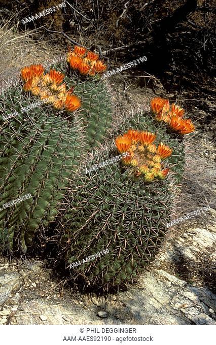Barrel Cactus Quartet (Ferocactus wislizenii) Arizona