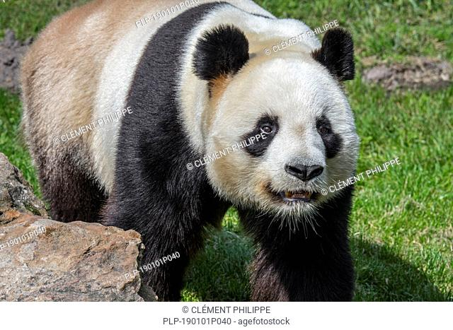 Giant panda (Ailuropoda melanoleuca) close up portrait in zoo / animal park / zoological garden