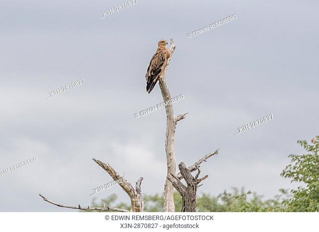 Tawney eagle perched up high at Etosha National Park in Namibia, Africa