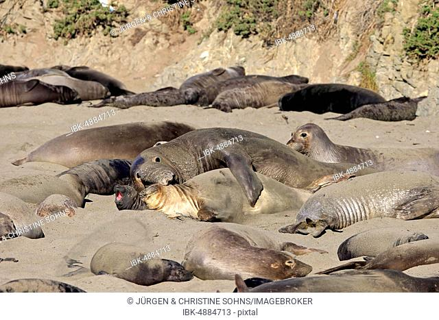 Northern Elephant Seals (Mirounga angustirostris), adult pair on the beach mating, colony with young animals, Piedras Blancas Rookery, San Simeon