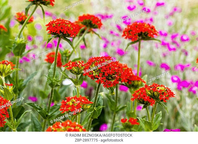 Maltese cross, Lychnis chalcedonica and Lychnis coronaria in summer garden