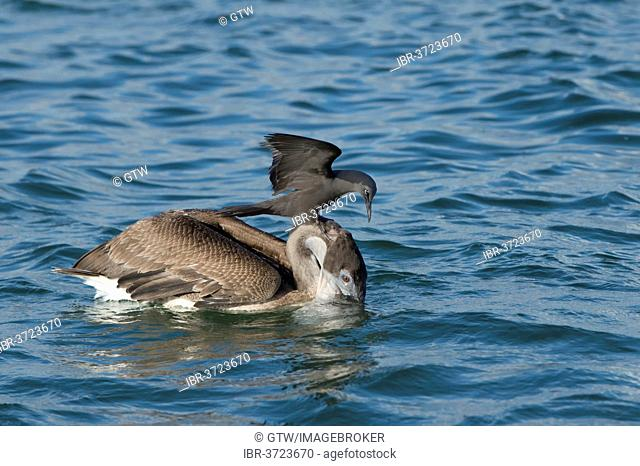 Brown Noddy (Anous stolidus galapagensis) sitting on the head of a Brown Pelican (Pelecanus occidentalis urinator) and trying to steal a fish in its beak during...
