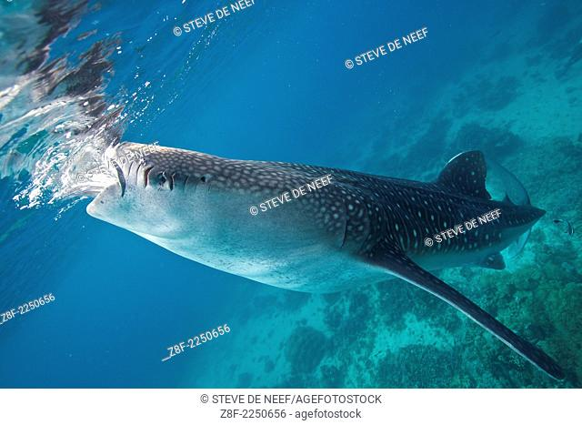 A whale shark (Rhincodon types) with propeller cuts on its head feeds in the waters of Oslob, Philippines