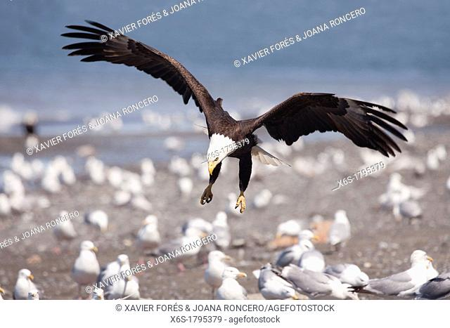 Bald eagle,- Haliaeetus leucocephalus -, Ninilchik, Kenai Peninsula, Alaska, U S A