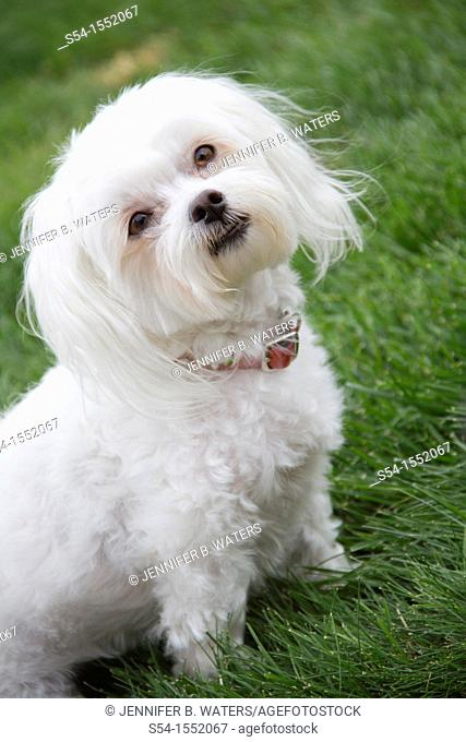 A Maltese Poodle dog outdoors