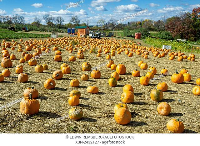 Lots of pumpkins at an orchard in Wexford, Pennsylvania, USA