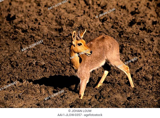 Reedbuck, Pilanesburg National Park, North West Province, South Africa