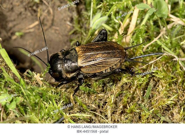 Field cricket (Gryllus campestris), female beside tunnel, Baden-Württemberg, Germany