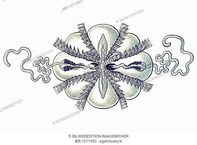Historic illustration, tablet 27, title Ctenophorae, jellyfish, name Hormiphora, 1/ Haeckelia rubra, Mertensiidae family, view from above, enlarged 8x