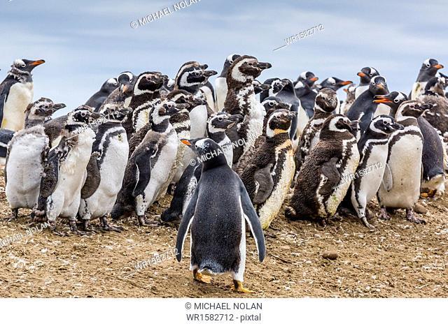Magellanic penguins (Spheniscus magellanicus) molting feathers near gentoo penguin (Pygoscelis papua), on Saunders Island, West Falkland Islands