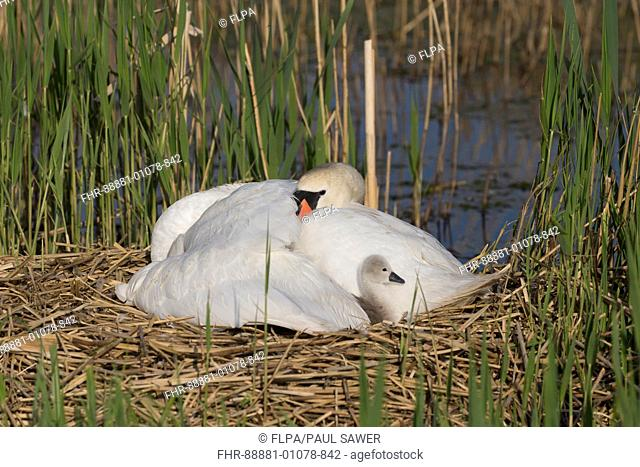 Mute Swan (Cygnus olor) adult female, sheltering all apart from 1 cygnet under wing on nest, Suffolk, England, UK, May