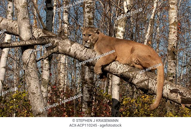 Cougar or mountain lion (Puma concolor), captive, up tree