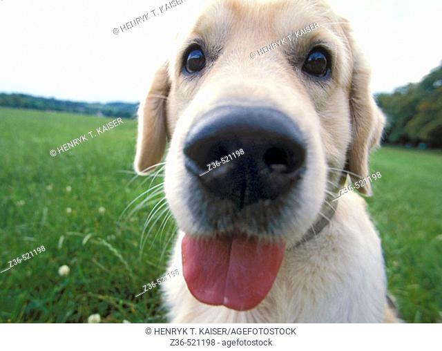 Golden Retriever dog funny portrait