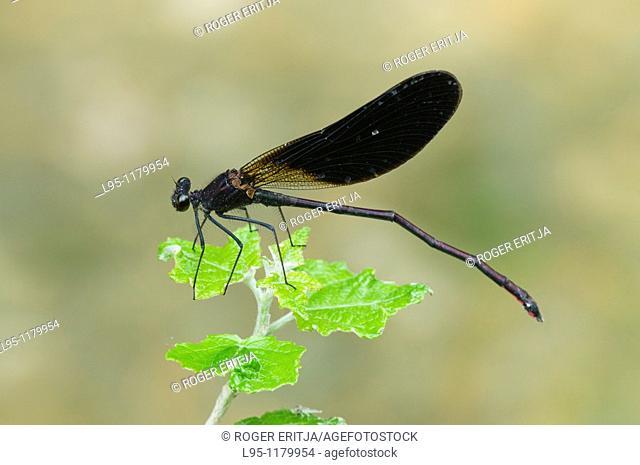 Male Copper Demoiselle Calopteryx hemorroidalis almost totally black damselfly, Spain