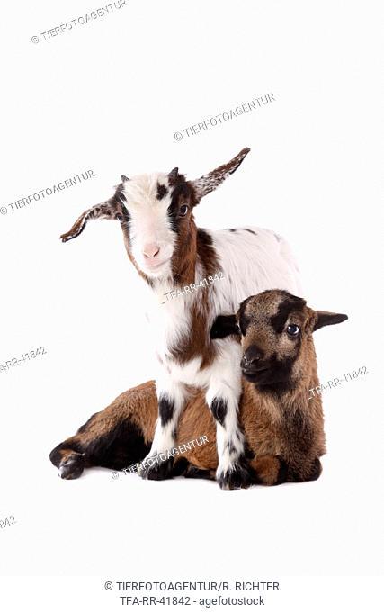 yeanling goat and yeanling lamb