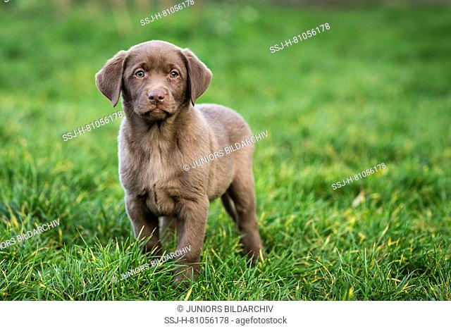 Labrador Rewtriever. Brown puppy standing in grass. Germany